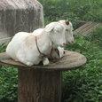 2頭のヤギ